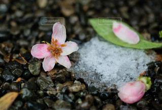 桜の季節の雪の後。の写真・画像素材[3060929]