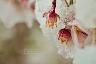 桜、雪、水玉。の写真・画像素材[3060927]