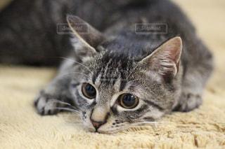 猫,動物,屋内,かわいい,子猫,一眼レフ,キジトラ