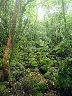 屋久島の自然の写真・画像素材[3146241]