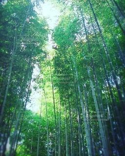 京都の竹林の写真・画像素材[3146263]