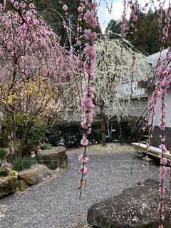 枝垂れ梅が薫るお庭の写真・画像素材[3018811]