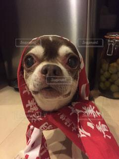 犬,動物,チワワ,かわいい,スムースチワワ,祭,泥棒,小型犬,チョコタン,インスタ映え,ほっかぶり,てぬぐい
