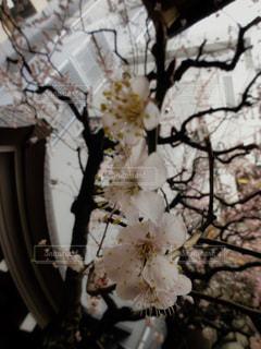 儚げな梅の写真・画像素材[3014559]