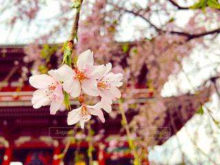 桜,浅草,浅草寺