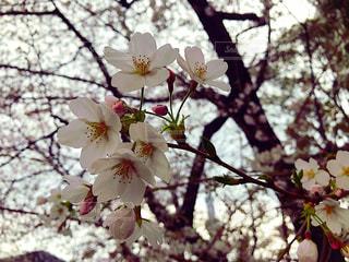 春,桜,桜の花