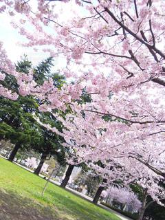 花,春,屋外,草,樹木,桜の花,さくら,ブルーム,ブロッサム