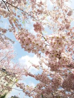 空,春,樹木,草木,桜の花,葉桜,さくら,ブルーム,ブロッサム