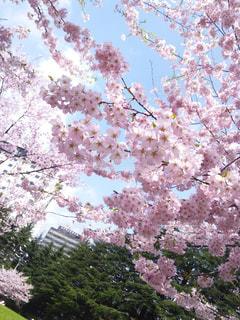 公園,桜,街,満開,都会