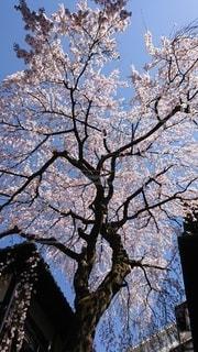 花,春,屋外,京都,樹木,桜の花,さくら