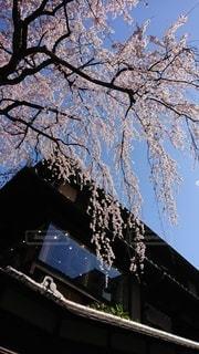 花,春,屋外,京都,樹木,桜の花,さくら,ブロッサム