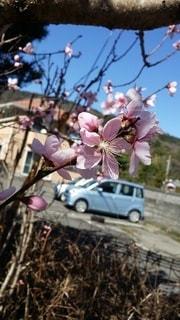 花,春,桜,屋外,青空,樹木,ブロッサム