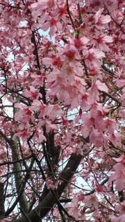 花,春,桜,ピンク,樹木,お花見,草木,桜の花,さくら,ブロッサム