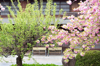 風景,花,春,桜,木,ピンク,緑,植物,きれい,綺麗,ベンチ,季節,花見,景色,サクラ,レトロ,椅子,美しい,お花見,新緑,イベント,日本,古民家,日本家屋,八重桜,桜色,グリーン,和風,明るい,ピンク色,ほのぼの,桜の花,長椅子,イメージ,緑色,穏やか,さくら,キレイ,フォトジェニック,2つ,さくら色,サクラ色,インスタ映え