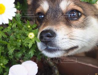 犬,自然,花,動物,屋内,かわいい,茶色,癒し,子犬,瞳,見つめる