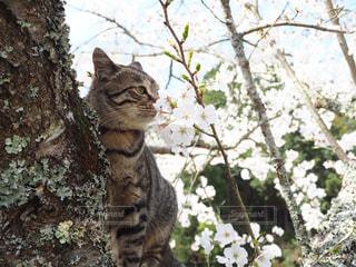 猫,桜,動物,屋外,樹木