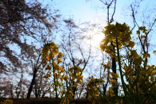 自然,空,花,屋外,菜の花,樹木,草木