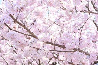 花,春,桜,木,ピンク,花見,満開,お花見,イベント,桜の花,さくら