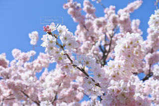 花,春,桜,木,ピンク,青空,花見,満開,お花見,イベント,桜の花,さくら
