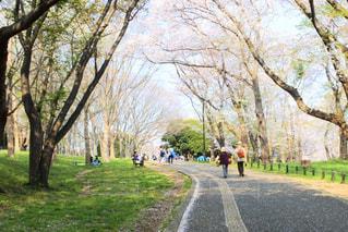 公園,花,春,桜,木,屋外,花見,桜並木,樹木,お花見,イベント,草木