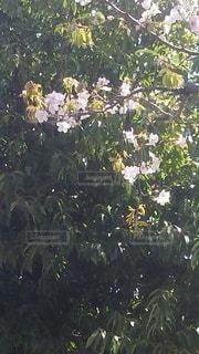 花,枝,樹木,桜?,枝と花,まわりが緑