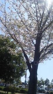 空,桜,木,屋外,樹木,日中