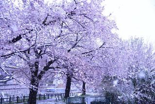 春,冬,桜,森林,雪,屋外,樹木,草木,日中,さくら,ブロッサム