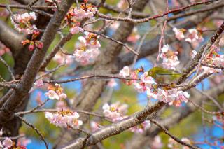 花,春,桜,屋外,枝,樹木,カラー,草木,さくら,ウグイス,ブロッサム,うぐいす,鶯