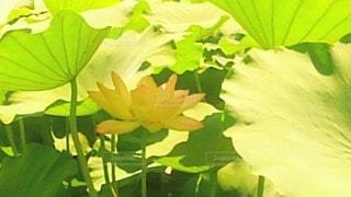 花,緑,花びら,蓮,草木,淡いピンク,フローラ