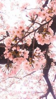 花,春,木,葉,花見,満開,樹木,お花見,イベント,草木,桜の花,さくら,ブルーム,ブロッサム