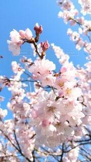 風景,空,花,春,木,青,花見,鮮やか,樹木,お花見,イベント,草木,桜の花,さくら,ブロッサム