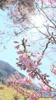 空,花,春,桜,木,屋外,花見,樹木,お花見,イベント,草木,桜の花,さくら,ブロッサム