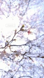 山の桜の写真・画像素材[3071468]