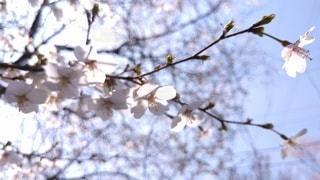 陽射しに煌めく桜の写真・画像素材[3071469]