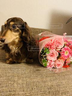 母の日に貰ったお花と愛犬の写真・画像素材[3192597]