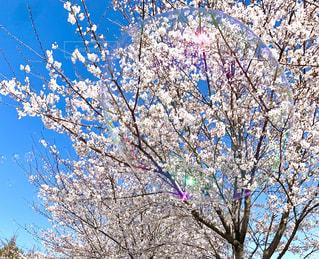 空,春,シャボン玉,桜の花,さくら