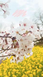 花,春,さくら,ブロッサム
