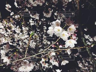 花,桜,夜,花見,夜桜,ブロッサム