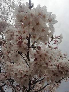 花,春,桜,木,花びら,草木,桜の花,さくら
