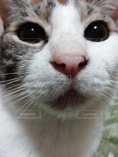 猫,動物,屋内,顔,アップ,ネコ科の動物,お鼻見