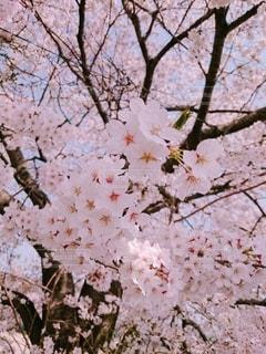 花,春,屋外,鮮やか,樹木,桜の花,さくら,ブロッサム