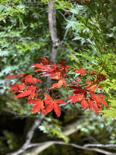 秋,紅葉,屋外,葉