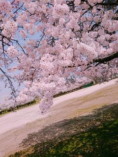 花,桜,鮮やか