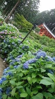 紫陽花の写真・画像素材[3384067]