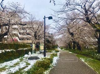 花,春,雪,屋外,景色,#桜