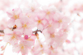 花,桜,河津桜,ブロッサム