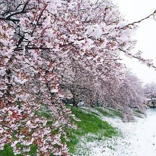 花,春,桜,雪,屋外,雪景色,樹木,SNOW,Spring,桜の花,さくら,ブロッサム