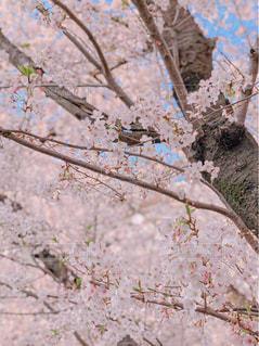 空,花,春,桜,屋外,ピンク,樹木,お花見,草木,桜の花,さくら,ブロッサム