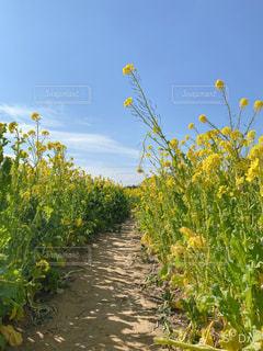 空,花,黄色,菜の花