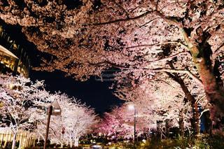 自然,花,春,桜,夜景,絶景,木,屋外,道路,夜桜,景色,樹木,ライトアップ,イベント